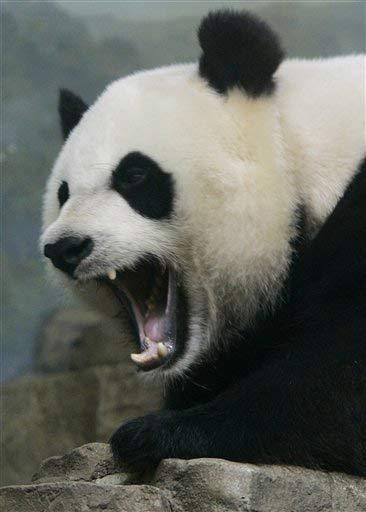 Panda encabriáu